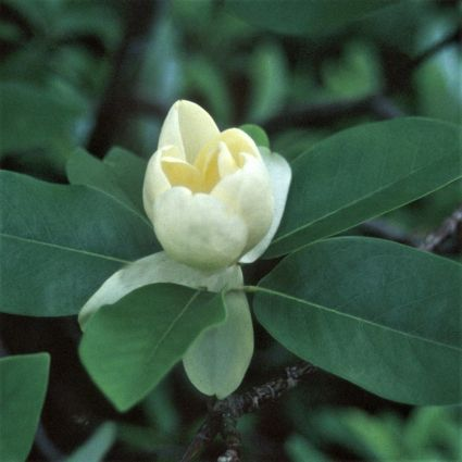 Moonglow® Sweet Bay Magnolia