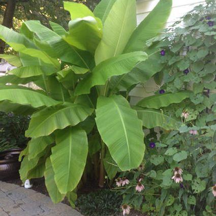 Musa Basjoo Banana Tree