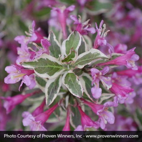 My Monet Purple Effect® Weigela