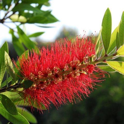 Scarlet Bottlebrush