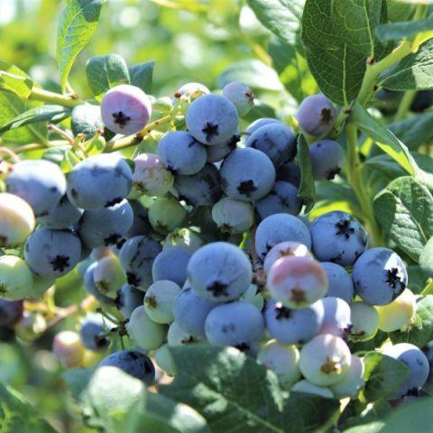 Northsky Blueberry