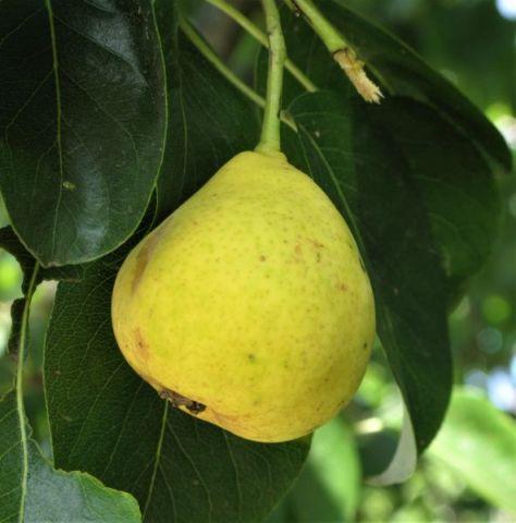 Orient Pear Tree