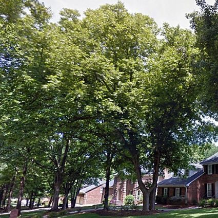 Stuart Pecan Tree