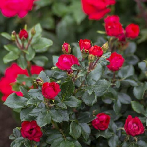 Petite Knock Out® Rose Tree Form