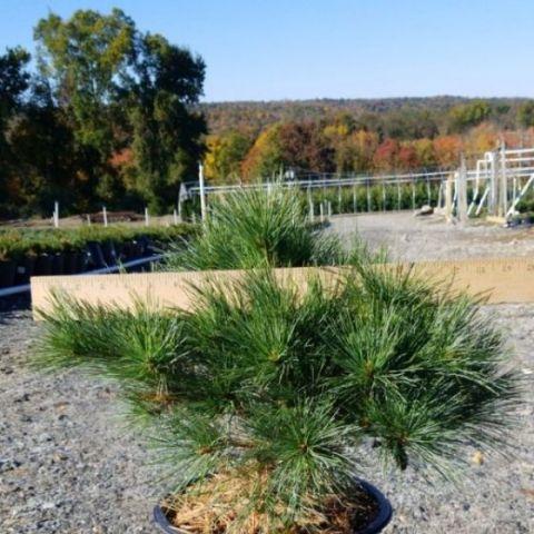 Blue Shag Eastern White Pine