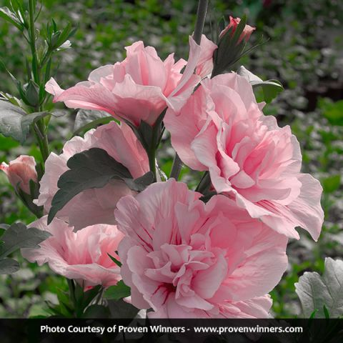 Pink Chiffon® Rose of Sharon Tree Form