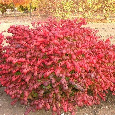 Pipsqueak® Burning Bush