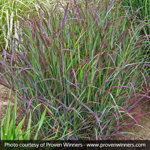 Prairie Winds® Cheyenne Sky Red Switch Grass