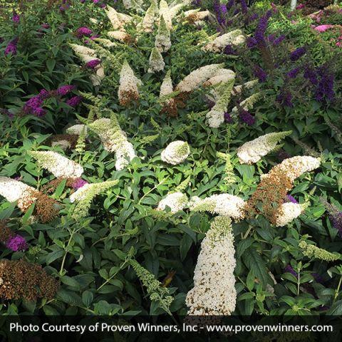 Pugster White® Butterfly Bush