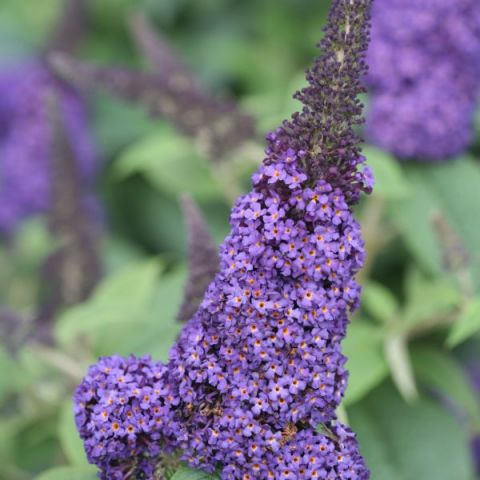 Pugster Blue® Butterfly Bush