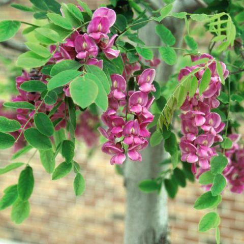 Purple Robe Locust Tree