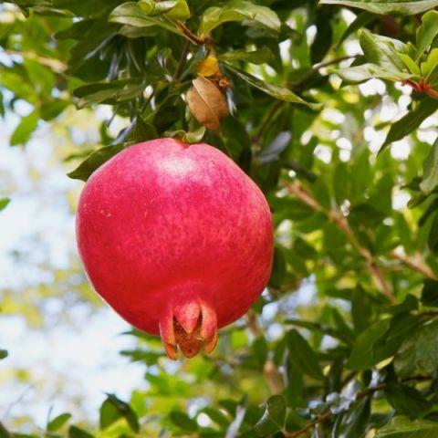 Purple Heart (Sharp Velvet) Pomegranate