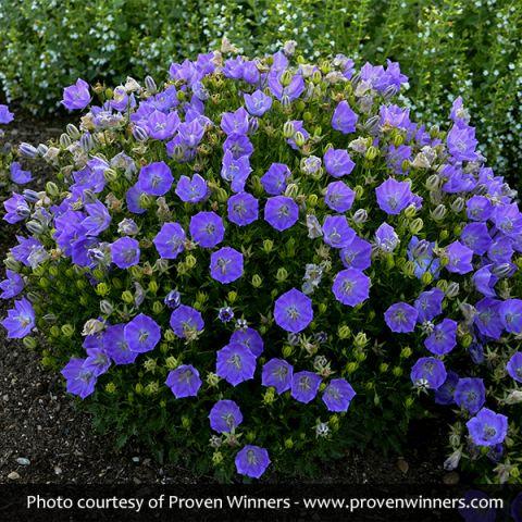 Rapido Blue Carpathian Bellflower