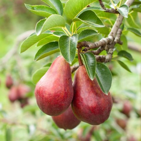 Red Bartlett Pear Tree