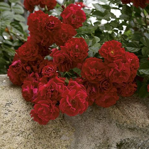 Red Ribbons® Rose