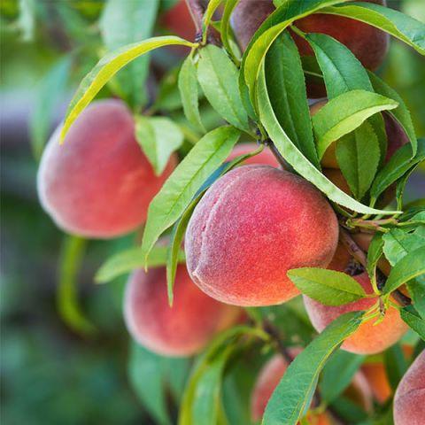 Redskin Peach Tree