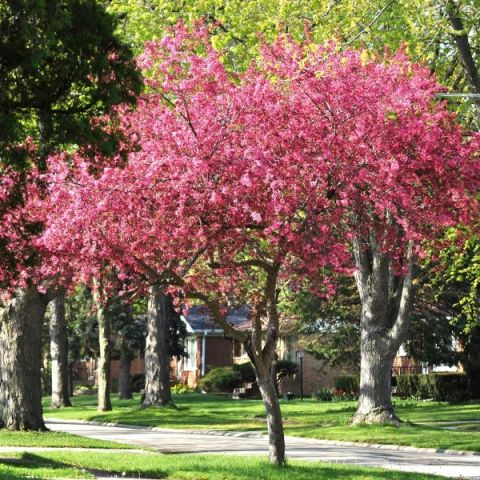Robinson Crabapple Tree