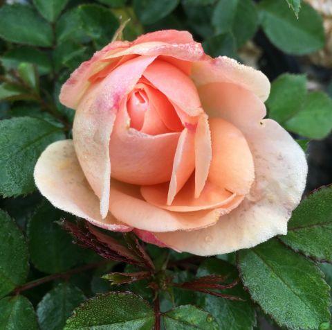 Cream Veranda® Rose
