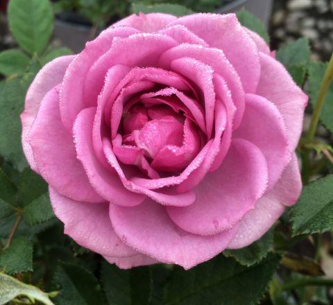 Lavender Veranda® Rose
