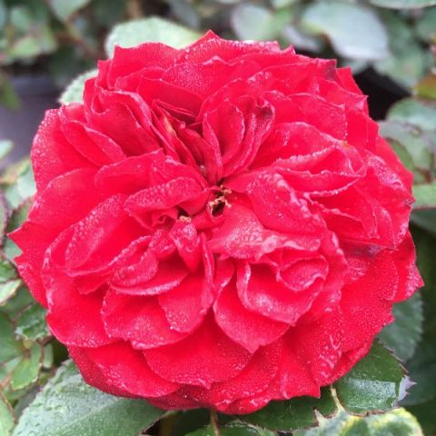 Roxanne Veranda® Rose