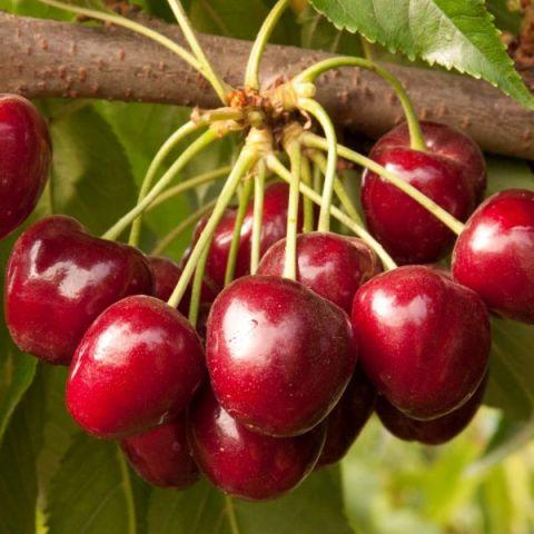 Royal Crimson Cherry