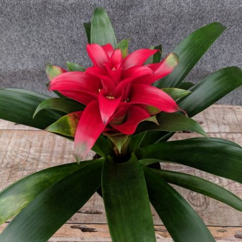 Scarlet Star Bromeliad