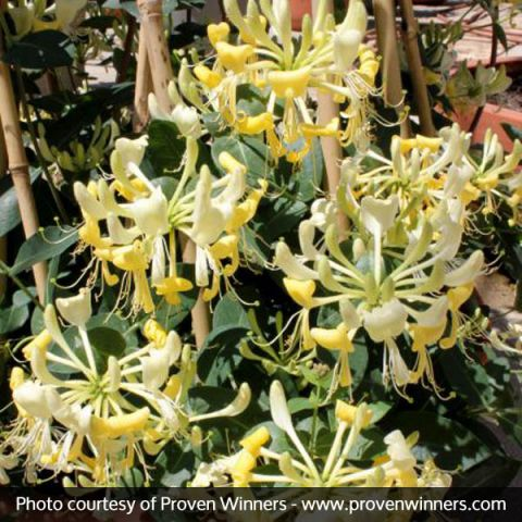Scentsation Honeysuckle Vine