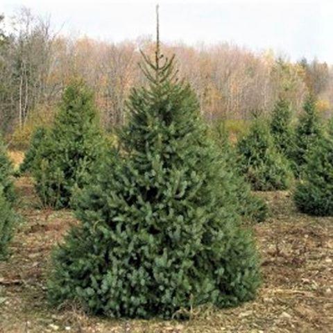 Serbian Spruce Tree