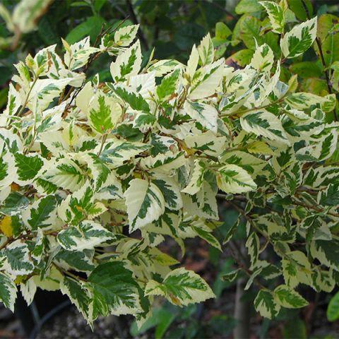 Shiloh Splash River Birch Tree