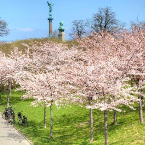 Shirofugen Flowering Cherry
