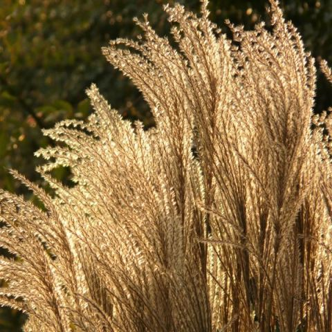 Silver Feather Maiden Grass