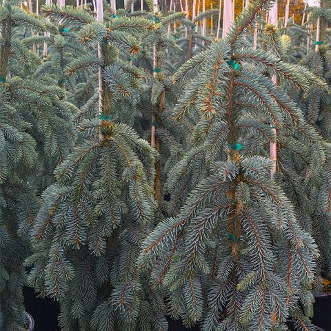 Slenderina Weeping Blue Spruce