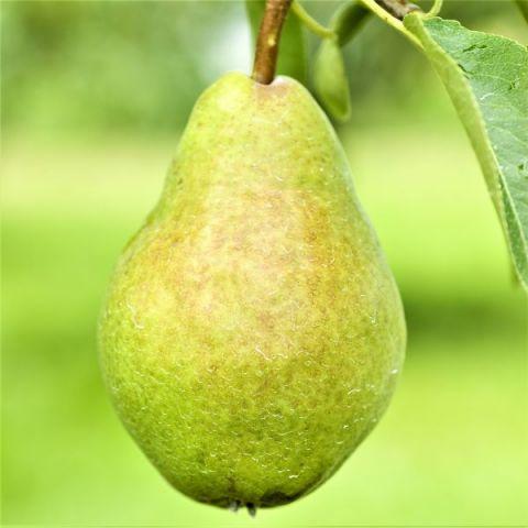 Southern Bartlett Pear