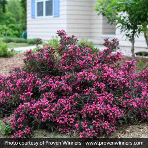 Spilled Wine® Weigela