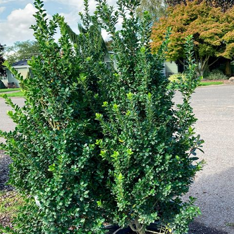 Steeds Japanese Holly