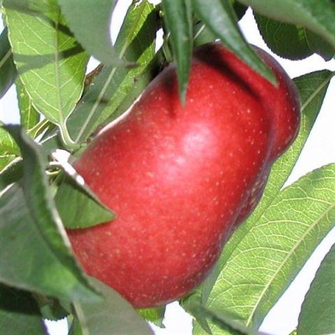 Sugar Pie Columnar Nectarine Tree
