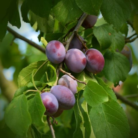 Sugar Plum Tree
