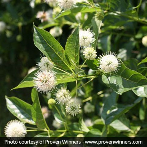 Sugar Shack® Buttonbush