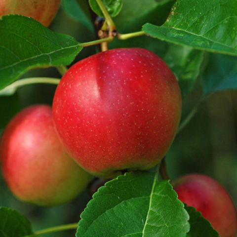 Summerred Apple Tree