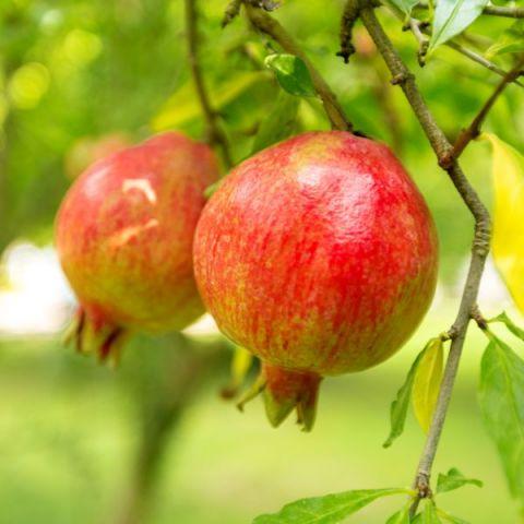 Sweet Pomegranate