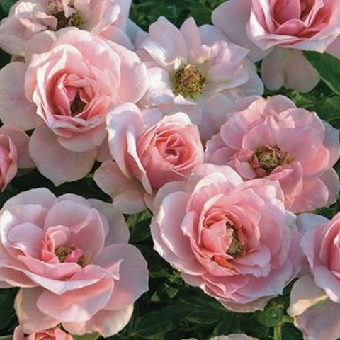 Sweet Sunblaze® Rose