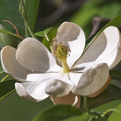 Sweet Bay Magnolia