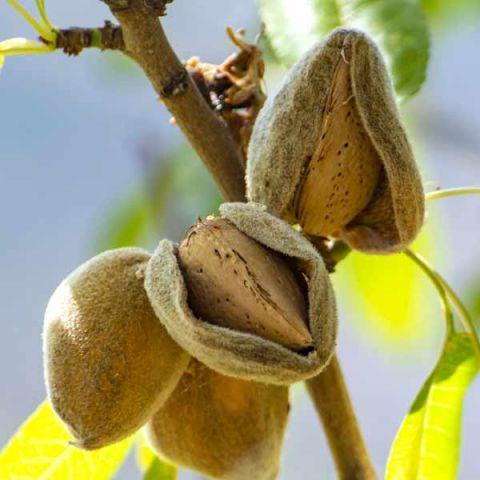 Texas Mission Almond Tree