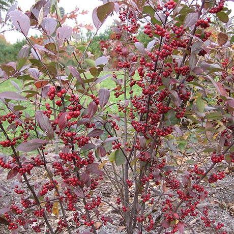 Upright RedChokeberry