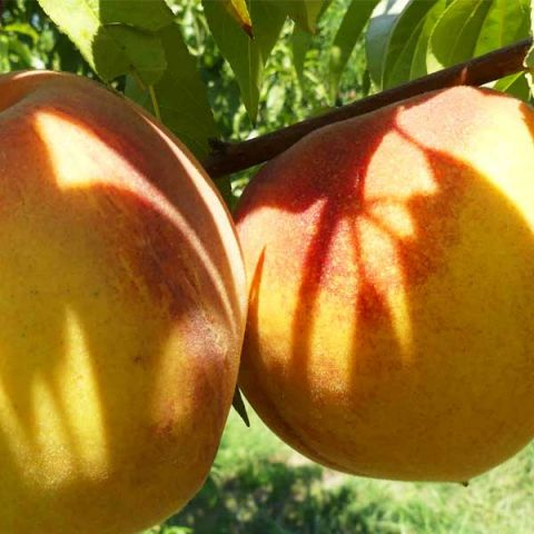 Veteran Peach Tree