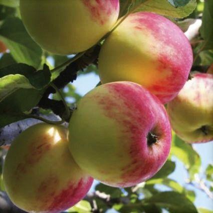 Wealthy Apple Tree