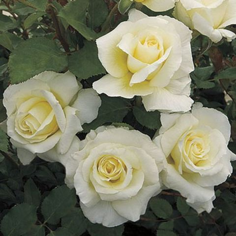 White Licorice™ Rose Tree
