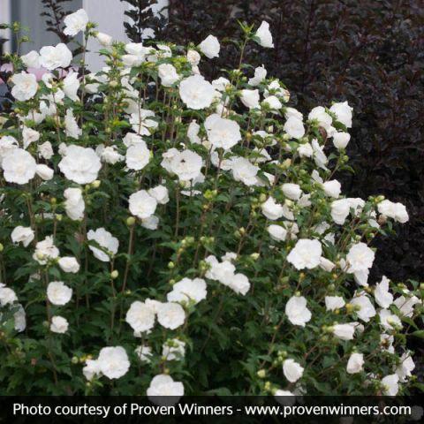 White Chiffon® Rose of Sharon