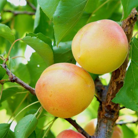 White Knockout Apricot Tree