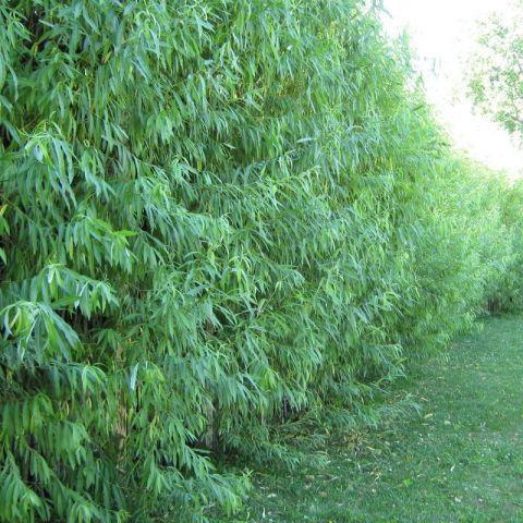 Willow Hybrid